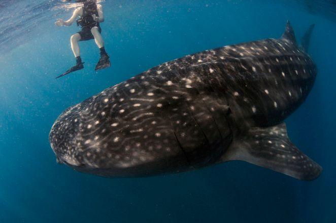 whale_shark_Uli_kunz_kunzgalerie.de_